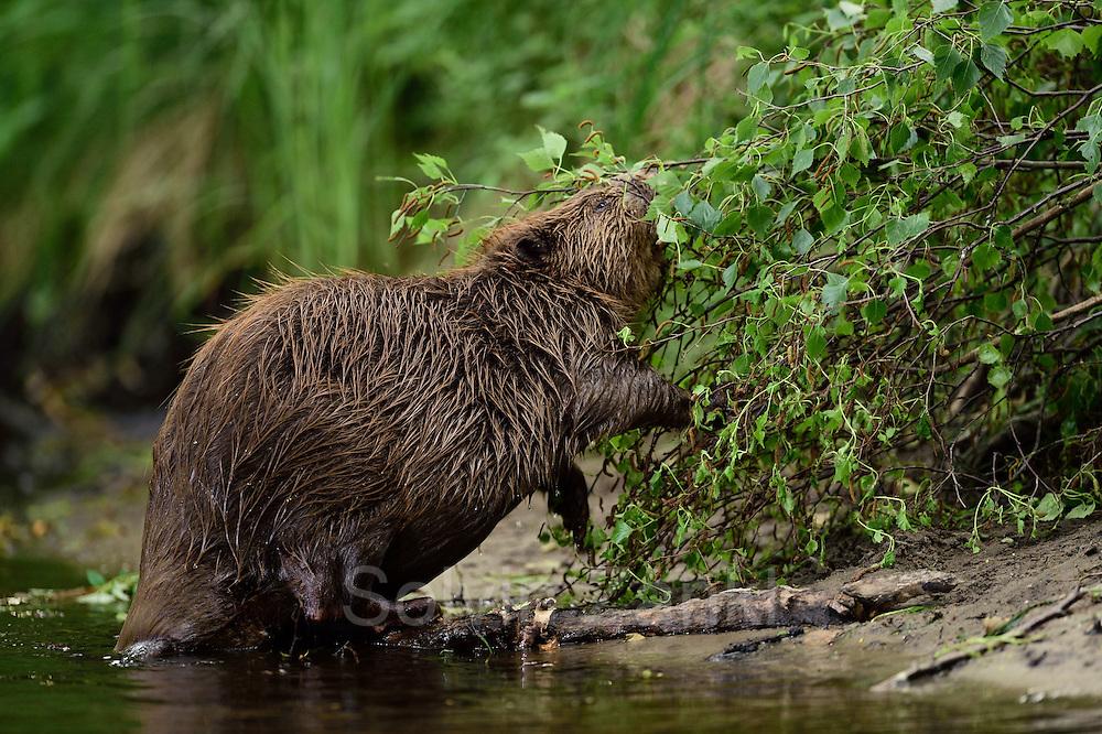 Beaver (Castor fiber) in the Peene valley. Germany