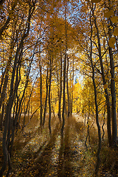 """Aspen at Fredrick's Meadow 4"" - Photograph of yellow aspen trees in the fall at Fredrick's Meadow near Fallen Leaf Lake, California."