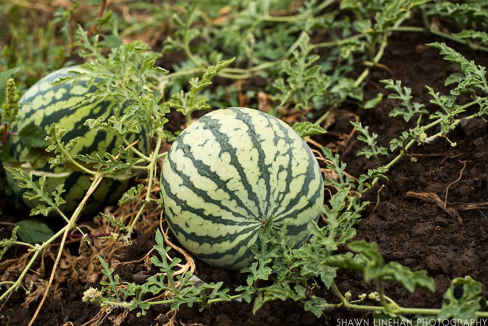 Egusi Melon?