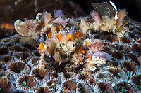 Blunt Decorator Crab, totally covered in Sponges for camouflage <br /> <br /> Shot in Indonesia