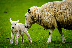 Ewe tends to her newly born lamb in springtime<br /> <br /> (c) Andrew Wilson | Edinburgh Elite media