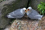 Pair of Black-legged Kittiwake - Rissa tridactyl conflabing on the nest
