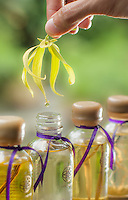 Conceptual illustration of aromatherapy oil production at Fivelements Healing Center, Bali. A hand drips oil from a fragrant ylang-ylang (Cananga) blossom into a decorative jar. Product photography by Djuna Ivereigh.