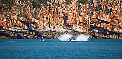 A humpback whale cow and calf breach at Wislon Point in Camden Sound on the Kimberley coast.