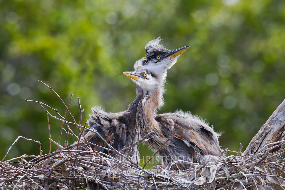 Two great blue heron siblings huddle together as a strong wind blows across their nest