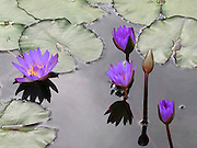 Water Lilies ~ Beautiful purple water lilies in a pond at a botanical garden.<br /> © Laurel Smith