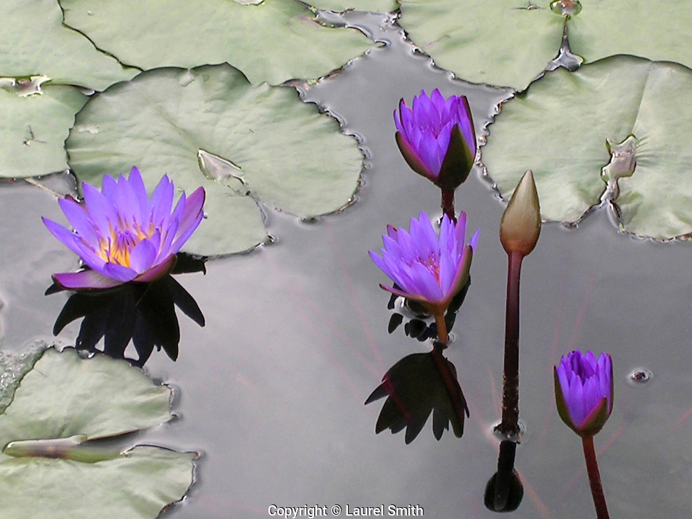 Water Lilies ~ Beautiful purple water lilies in a pond at a botanical garden.<br /> &copy; Laurel Smith