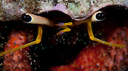 Kermadec Hermit Crab (Unidentified )