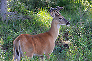 Mule Deer - Odocoileus hemionus - young male in velvet