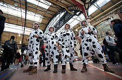 © Licensed to London News Pictures. 14/02/2013. London, UK. A four piece 'cow' choir serenades commuters with cow orientated songs as they promote the 'Supporting Better Dairy' campaign in Victoria Station, London, today (14/02/2013). The campaign, supported by ice cream company Ben and Jerry's, aims to improve the welfare standards for dairy cows in Europe. Photo credit: Matt Cetti-Roberts/LNP