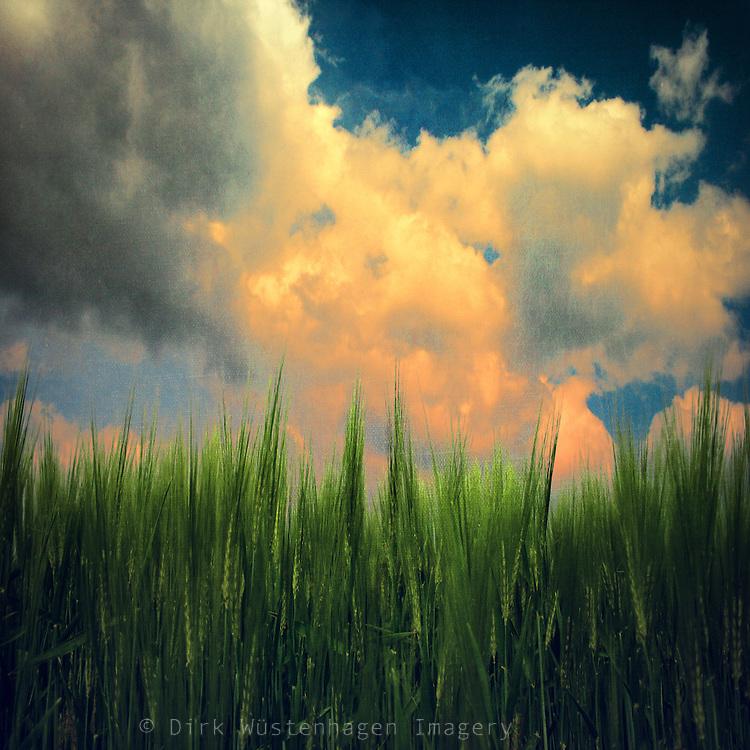 Close-up of a barley field in spring - texturized photograph.<br /> Prints: http://fineartamerica.com/featured/barley-dirk-wuestenhagen.html