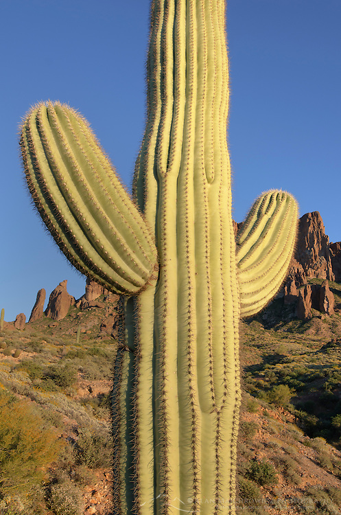 Saguaro Cactus (Carnegiea gigantea), Superstition Mountains Arizona