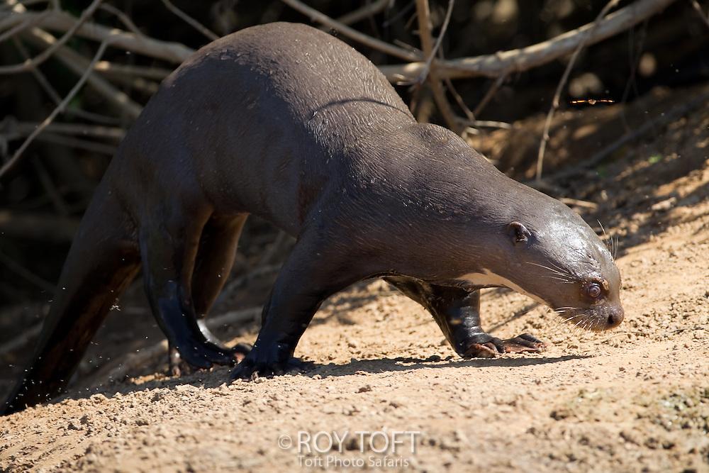 Giant otter (Pteronura brasiliensis), Pantanal, Brazil