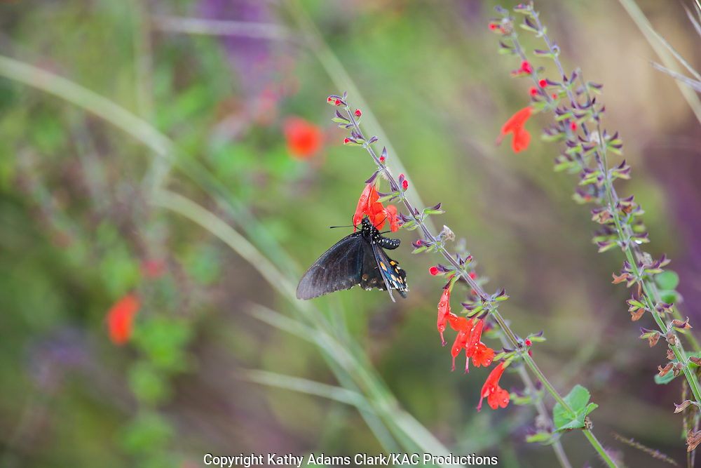 Pipevine Swallowtail; Battus philenor; on salvia, Block Creek Natural Area in the Texas Hill Country near Comfort, Texas