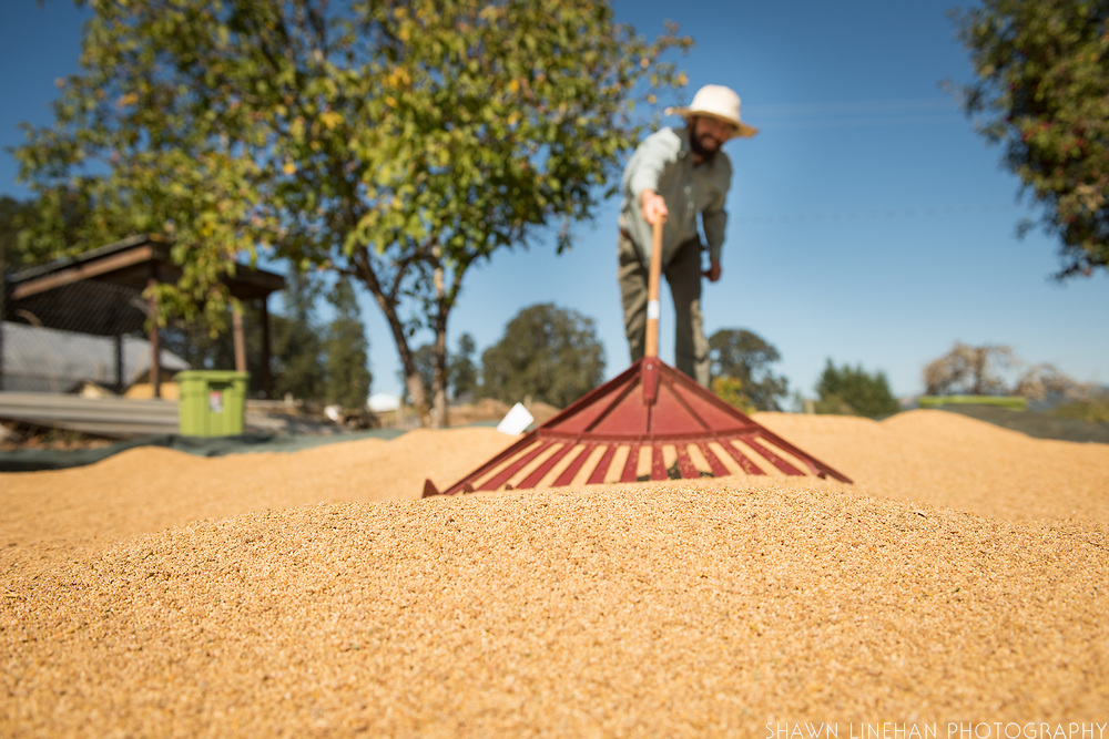 Hank speads quinoa seed for drying in the sun at Wild Garden Seed farm.