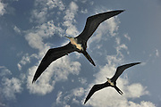 Two female Frigatebird in flight