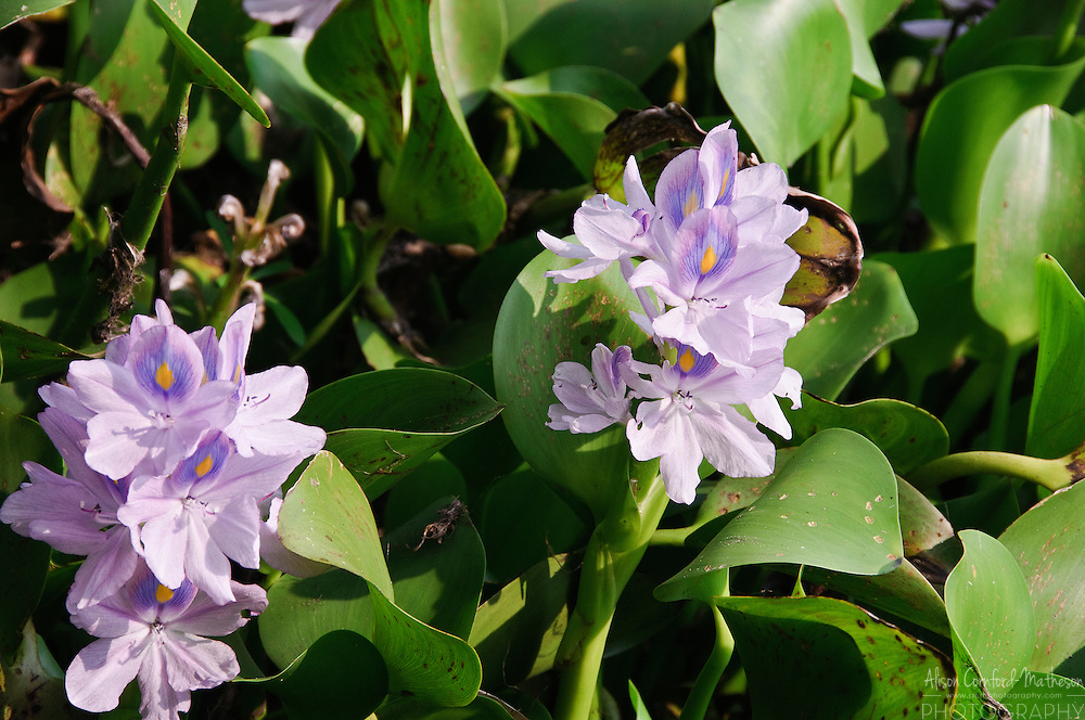 Water hyacinths clog the backwaters of Kerala, India with their purple flowers.