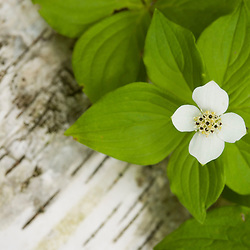 A bunchberry in bloom, Cornus canadensis, next to a fallen whiute birch tree, near Marquoit Bay in Brunswick, Maine.