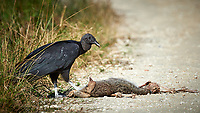 Black Vulture feeding on a road-killed mammal. Biolab Road, Merritt Island National Wildlife Refuge. Image taken with a Nikon D4 camera and 500 mm f/4 VR lens (ISO 500, 500 mm, f/8, 1/2000 sec).
