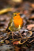 A Robin (Erithacus rubecula) sitting on a branch in the Lochwinnoch nature reserve.