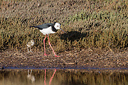 Baby chicks with an adult Pied Stilt, Waiheke Island, New Zealand