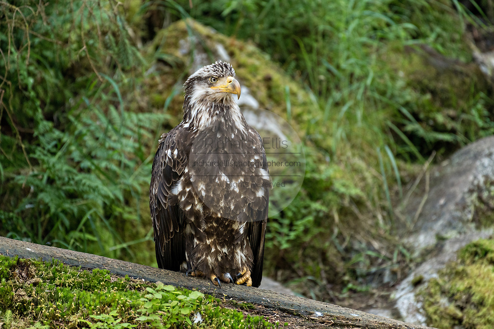A juvenile Bald Eagle watches for an opportunity to steal salmon scraps from feeding bears at Anan Creek in the Tongass National Forest, Alaska. Anan Creek is one of the most prolific salmon runs in Alaska and dozens of black and brown bears gather yearly to feast on the spawning salmon.