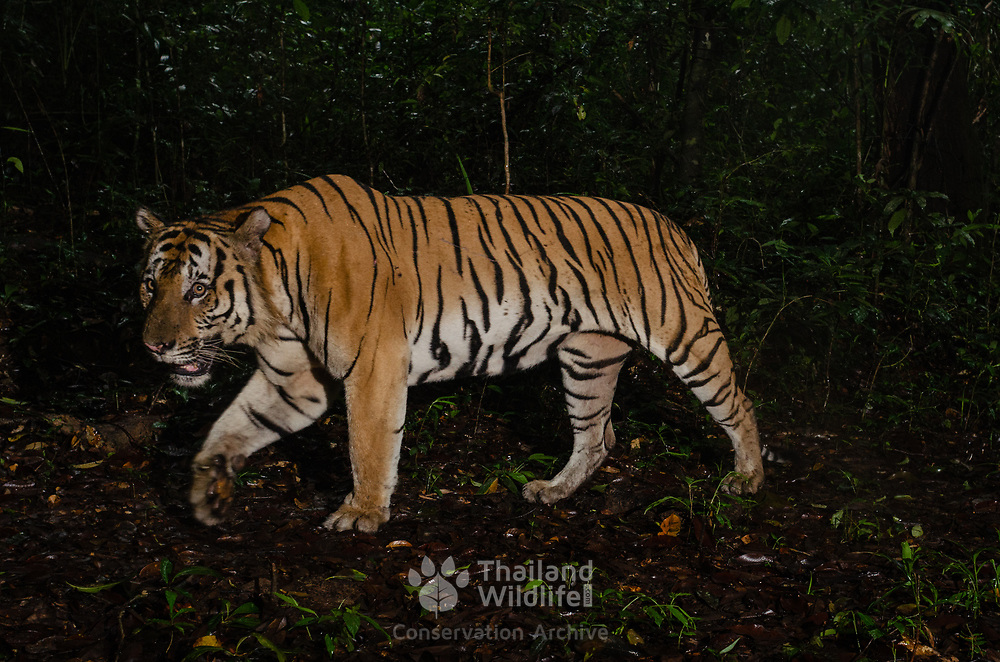 The Indochinese tiger is a population of the Mainland Asian tiger (Panthera tigris tigris) in Indochina. This population occurs in Myanmar, Thailand, Lao PDR, Vietnam, Cambodia and southwestern China. It has been listed as Endangered on the IUCN Red List since 2008, as the population seriously declined and approaches the threshold for Critically Endangered. As per 2011, the population was thought to comprise 342 individuals. The largest population unit survives in Thailand estimated at 189 to 252 individuals. There are 85 individuals in Myanmar, and only 20 Indochinese tigers remain in Vietnam. It is considered extinct in Cambodia.