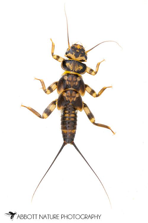 Common Stonefly (Acroneuria arenosa) nymph<br /> TEXAS: Jasper Co.<br /> Indian Creek off Hwy 63<br /> 13.March.2012<br /> J.C. Abbott #2569 &amp; K.K. Abbott