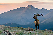 A young bull elk lifts his head up to gaze for rivals before returning to the bountiful harvest of lush vetegation on Rocky Mountain National Park's alpine tundra.   Long's Peak sits in the distant background.