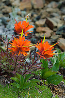 Red Paintbrush (Castilleja miniata)