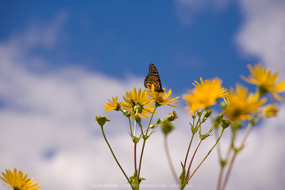 Monarch butterfly on native Cup plant (Silphium perfoliatum)