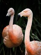Flamingos at the San Diego Safari Park