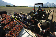 A crew from Vanderweele Farms plants red and green leaf lettuce in a field near the Palmer Golf Course on Tuesday, May 26, 2009. Farmer Ben Vanderweele said the warm spring has helped his crops and he hopes to begin harvesting by the end of next month. Find more pictures and multimedia at alaskaphoto.net.