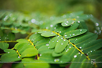 Pure drops of moisture condensed from the atmosphere and deposited on the cool leaves.<br /> There's a certain refreshing quality to it... Purity.