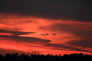 Sandhill cranes in flight silhouetted against dramatic sunset.