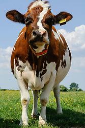 Koe, roodbont, Bos domesticus