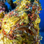 A giant frog fish (Antennarius commerson) seen while Scuba diving off Kona, Big Island, Hawaii. © William Drumm, 2013.