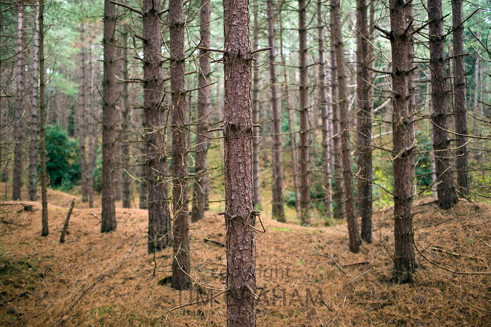 Scots Pine trees in pinewood woodland in Holkham, North Norfolk, UK