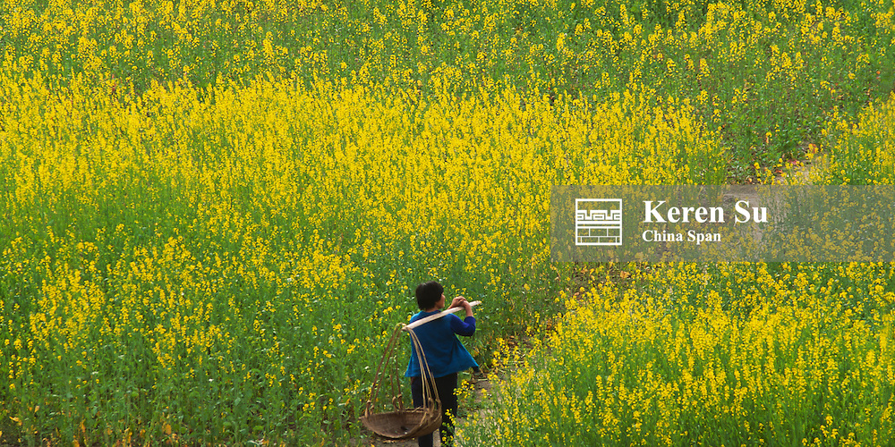 Farmer carrying buckets in canola field, Sichuan Province, China