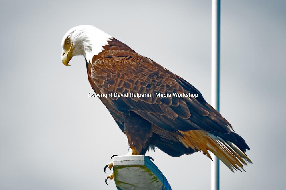 D 04047 Bald Eagle