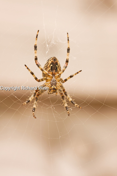 Macro of the underside of a Garden Spider (Aranus diadematus), showing the means by which it spins its webs. Trying to photograph spiders in even the slightest of wind, must be the definition of frustration.