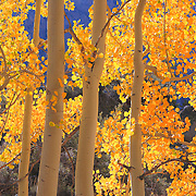 North Lake Road Aspens - Fall Color