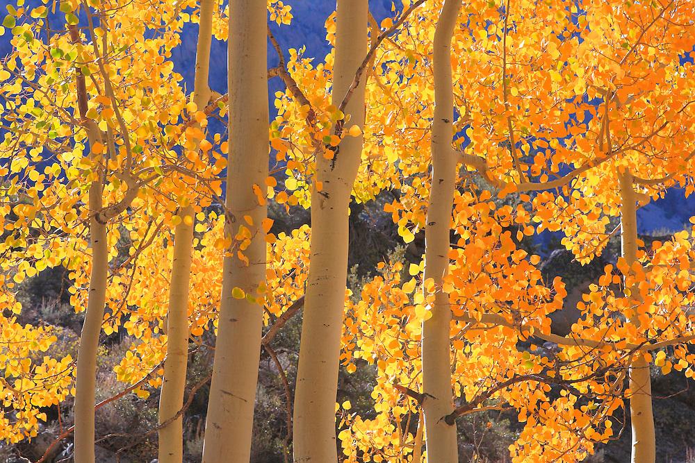 North Lake Road Aspens - Fall Color