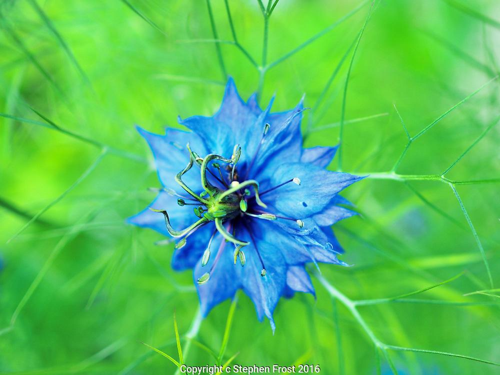 Love in a Mist flower (Nigella damascena) in a garden in Sussex, England.