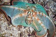 Caribbean Reef Octopus (Octopus briareus) at night.