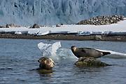 Harbour Seal<br /> (Phoca vitulina)<br /> Spitsbergen<br /> Svalbard<br /> Norway<br /> Arctic Ocean