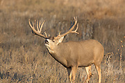 A gigantic non-typical mule deer buck exhibits the Flehmen response (lip curl) during the autumn rut.