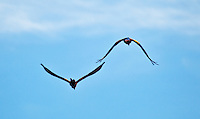 Two macaws flying at Lapa Rios Ecolodge, Osa Peninsula, Costa Rica