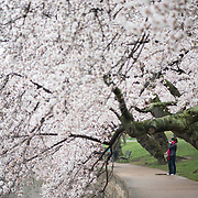 A woman takes a photo of the cherry blossoms in bloom along the Tidal Basin walkway in Washington DC.