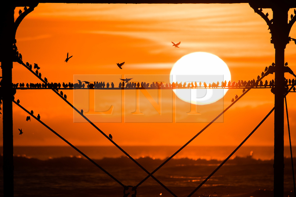 © Licensed to London News Pictures. 08/02/2017. Aberystwyth, Wales, UK. As the sun sets dramatically in a fiery orb over the sea in Aberystwyth,  thousands of tiny starlings return from their daytime feeding grounds to roost overnight for safety and warmth on the forest of cast iron legs underneath the town's Victorian seaside pier on the  west Wales coast of Cardigan Bay .Photo credit: Keith Morris/LNP